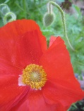 poppy pale